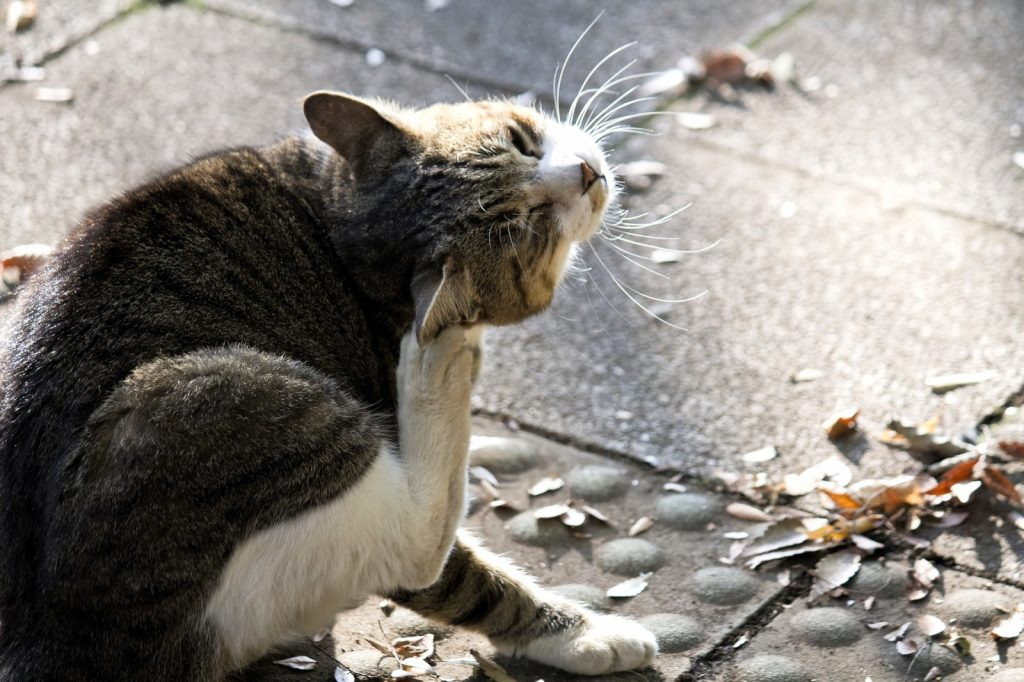 頭をかく野良猫