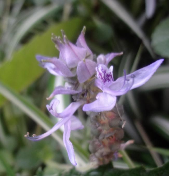 カニナハイブリッドの花