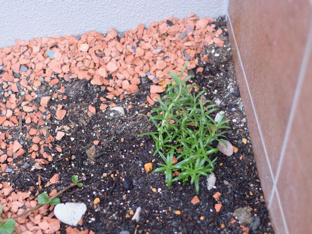 玄関先に植えた猫よけローズマリー